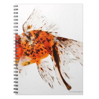 Calico lionhead goldfish (Carassius auratus). Note Books