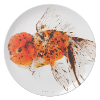 Calico lionhead goldfish (Carassius auratus). Plate