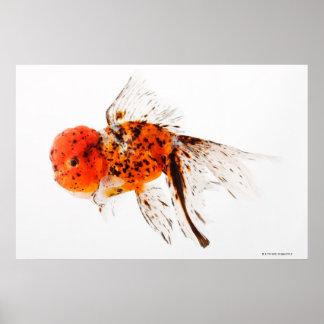 Calico lionhead goldfish (Carassius auratus) Poster