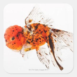 Calico lionhead goldfish (Carassius auratus) Square Sticker