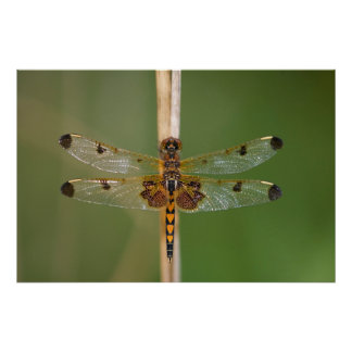 Calico Pennant Poster
