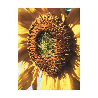 California, A Mammoth Sunflower (Helianthus) 1 Gallery Wrap Canvas
