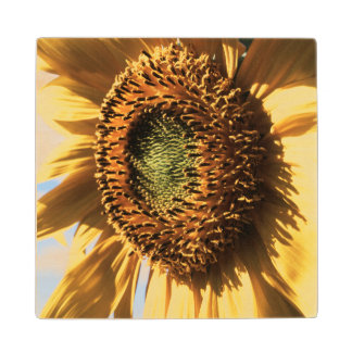 California, A Mammoth Sunflower (Helianthus) 1 Maple Wood Coaster