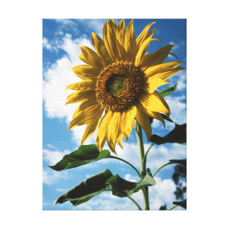 California, A Mammoth Sunflower (Helianthus) 2 Canvas Print