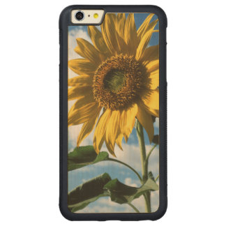 California, A Mammoth Sunflower (Helianthus) 2 Carved® Maple iPhone 6 Plus Bumper Case