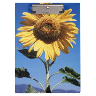 California, A Mammoth Sunflower (Helianthus) 3 Clipboard