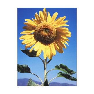 California, A Mammoth Sunflower (Helianthus) 3 Gallery Wrap Canvas