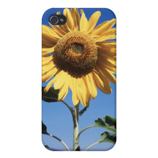 California, A Mammoth Sunflower (Helianthus) 3 iPhone 4/4S Case