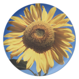 California, A Mammoth Sunflower (Helianthus) 3 Plate