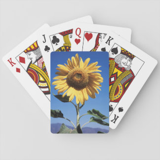 California, A Mammoth Sunflower (Helianthus) 3 Playing Cards