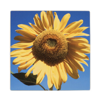 California, A Mammoth Sunflower (Helianthus) 3 Wood Coaster