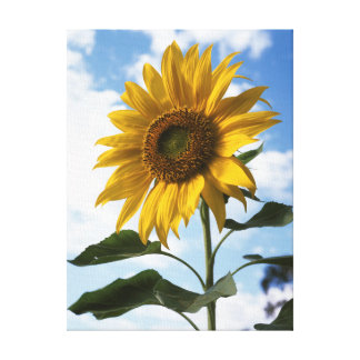 California, A Mammoth Sunflower (Helianthus) 4 Canvas Print