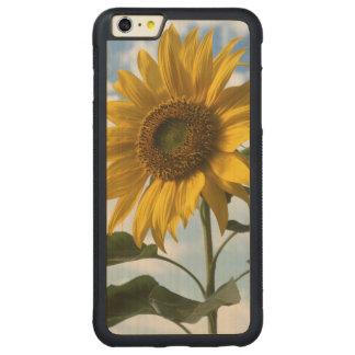 California, A Mammoth Sunflower (Helianthus) 4 Carved® Maple iPhone 6 Plus Bumper Case