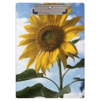 California, A Mammoth Sunflower (Helianthus) 4 Clipboard