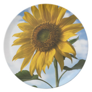 California, A Mammoth Sunflower (Helianthus) 4 Plate