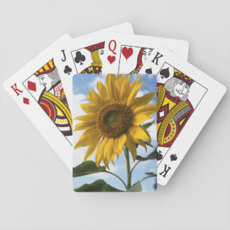 California, A Mammoth Sunflower (Helianthus) 4 Playing Cards