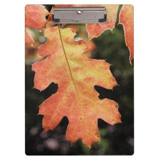 California, An autumn colored Oak leaf Clipboard