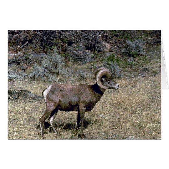 California bighorn sheep (Young ram grazing) Card