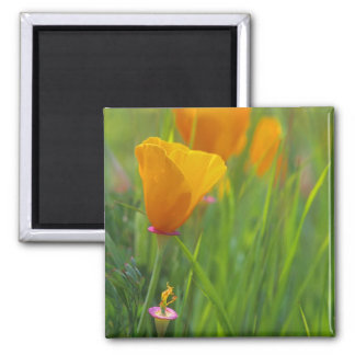 California golden poppies in a green field square magnet