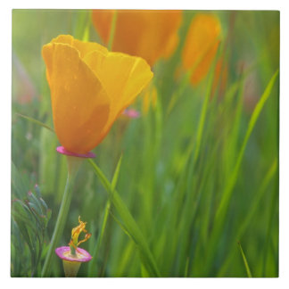 California golden poppies in a green field tile