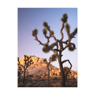 California, Joshua Tree National Park, Joshua Canvas Print