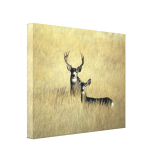 California Mule Deer Wrapped Canvas Art Stretched Canvas Prints