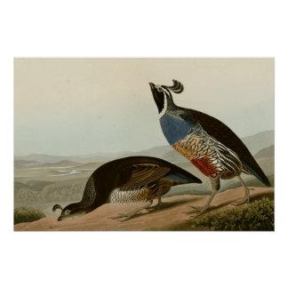 California Partridge Perfect Poster