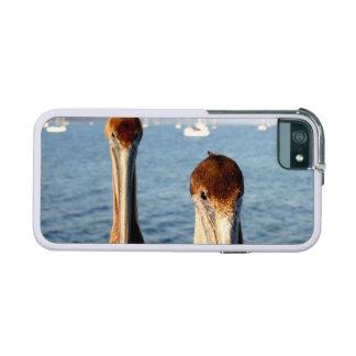 California Pelicans iPhone 5 Cases