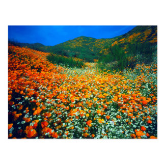 California Poppies and Popcorn wildflowers Postcard