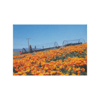 California Poppies Stretched Canvas Print