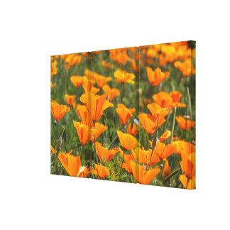 California Poppies Triptych Canvas Canvas Print