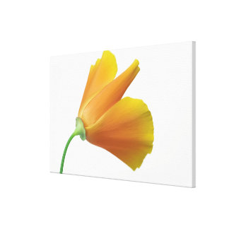 California poppy stretched canvas print