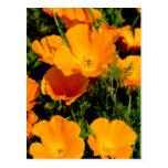 """California Poppy"" Postcard"