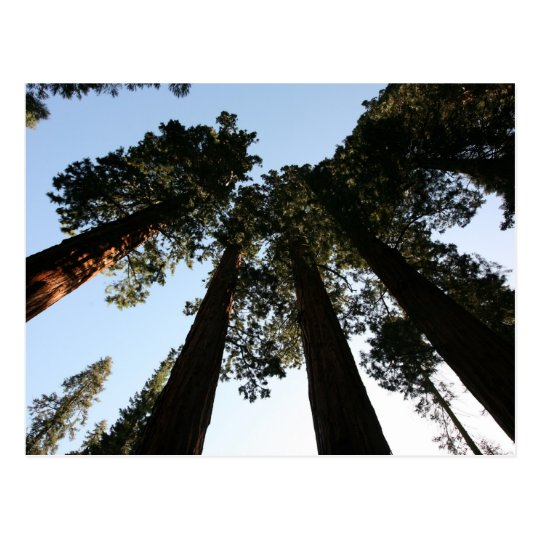 California Redwood Tree Postcard