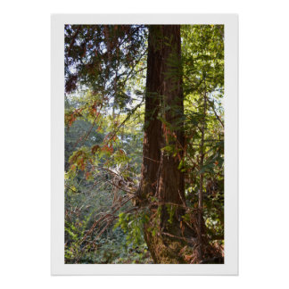 California Redwood Trees Poster