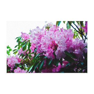California Rhododendron Stretched Canvas Print
