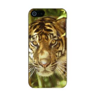 California, San Francisco Zoo, Sumatran Tiger Incipio Feather® Shine iPhone 5 Case