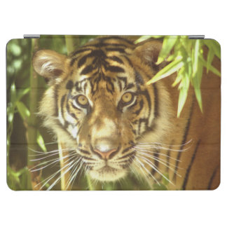 California, San Francisco Zoo, Sumatran Tiger iPad Air Cover