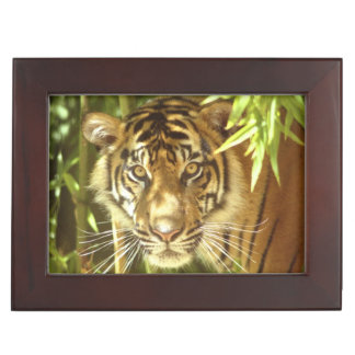California, San Francisco Zoo, Sumatran Tiger Keepsake Box