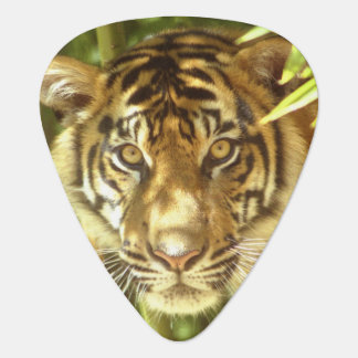 California, San Francisco Zoo, Sumatran Tiger Plectrum