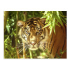 California, San Francisco Zoo, Sumatran Tiger Postcard