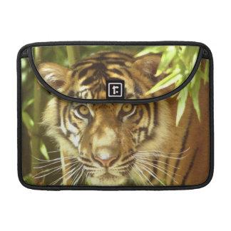 California, San Francisco Zoo, Sumatran Tiger Sleeve For MacBooks