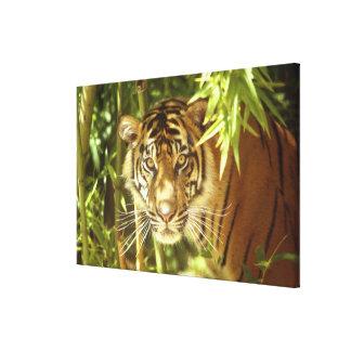 California, San Francisco Zoo, Sumatran Tiger Stretched Canvas Print