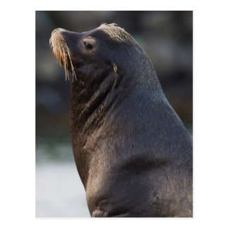 California Sea Lion 2 Postcard