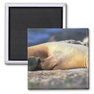 California Sea Lion Sleeping Fridge Magnet