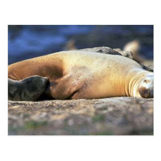 California Sea Lion Sleeping Postcard