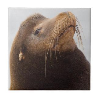 California Sea Lion Tile