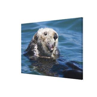 California Sea Otter Enhydra lutris) grooms 2 Canvas Print