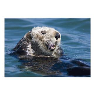 California Sea Otter Enhydra lutris) grooms Art Photo