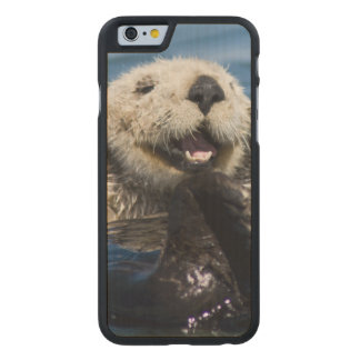 California Sea Otter Enhydra lutris) grooms Carved Maple iPhone 6 Case